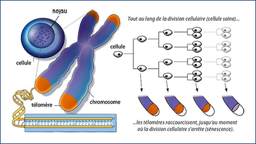 Schémas des télomères, cellules et chromosomes